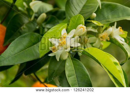 Mandarin orange tree with flowers in the garden