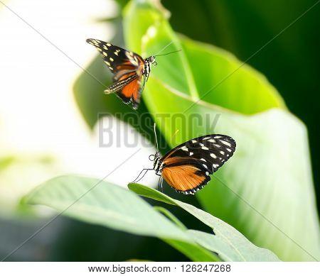 Two pretty monarch butterflies between green leaves
