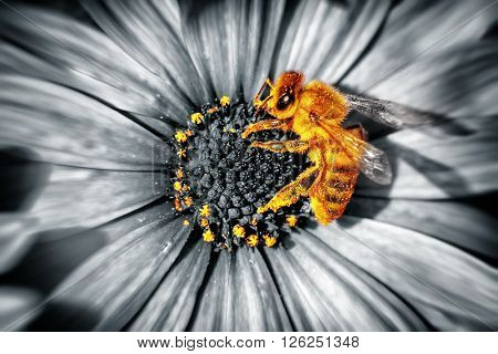 Close-up photo of a cute little yellow bee sitting on a daisies flower, honeybee collecting the pollen to produce the honey, beauty of a spring nature, black and white photography