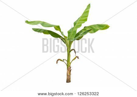Small green banana tree isolated on white background