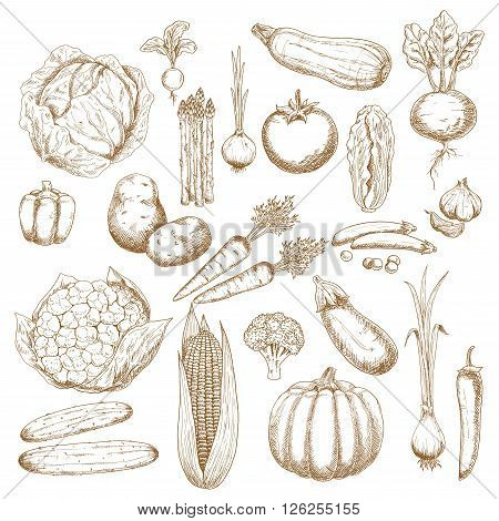 Cabbages, onion and tomato, pepper and potato, cucumbers, beet and broccoli, carrots, pumpkin and corn, eggplant, pea and cauliflower, zucchini, garlic and radish, scallion and asparagus vegetables sketch icons for agriculture design usage