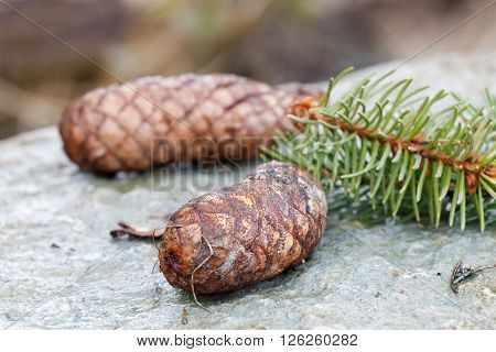 Fir cones and spruce needle laying on a rock