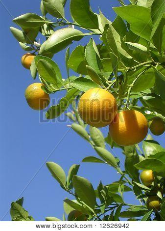 Washington Oranges 2004