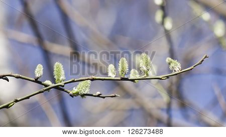 Blossoming branch of willow with catkins on bokeh background selective focus shallow DOF