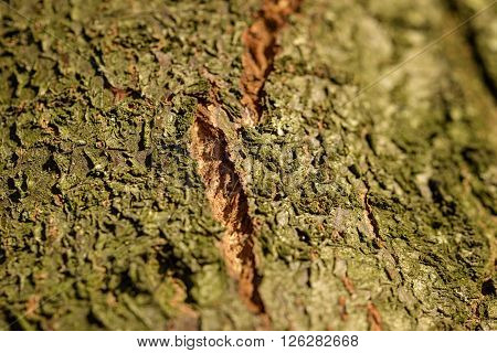 cortex tree for natural background wooden surface