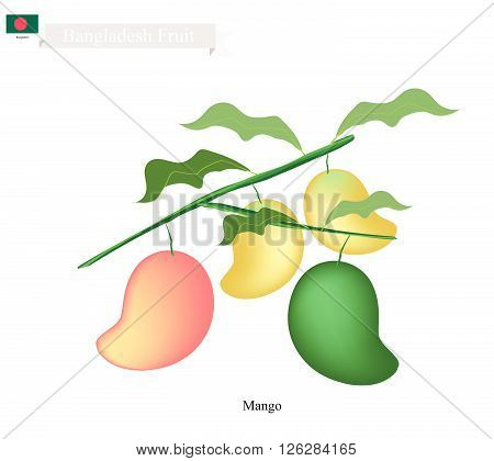 Bangladesh Fruit, Illustration of Ripe and Raw Mangoes. One of The Most Popular Fruits in Bangladesh.