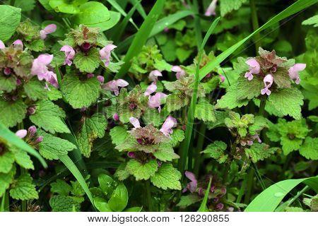 a fresh flower nettle on the meadow