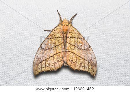 Gangarides Dharma Moth