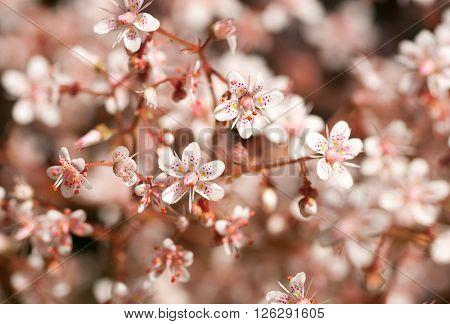 defocused full frame image of delicate pink sedum flowers