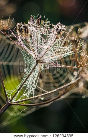 Cobweb with droplets of morning dew in the sun, close-up