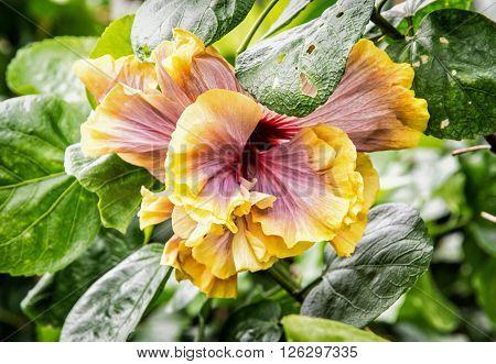 Orange hibiscus flower. Hibiscus is a genus of flowering plants in the mallow family malvaceae. Detailed natural scene.