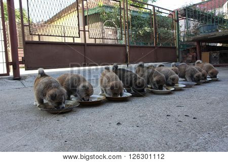 Ten luscious Akita Inu puppies eating in the courtyard
