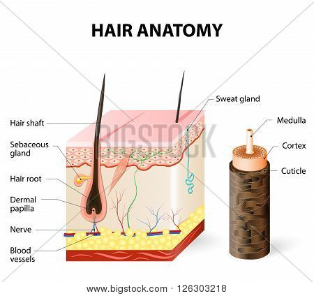 Hair anatomy. The hair shaft grows from the hair follicle consisting of transformed skin tissue. The epidermal cells transform at the command of the dermal papilla cells and generate the hair shaft.