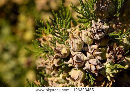 cypress berries in sunlight outdoor evergreen tree