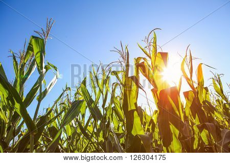 Field of corn at sunset.