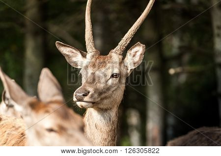 young white-tailed deer profile in the fields of Quebec country