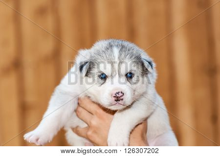 newborn Siberian Husky puppy with blue eyes held by one hand