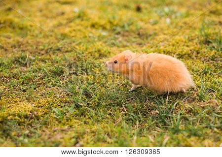 Hamster walking on the green lawn, copy space