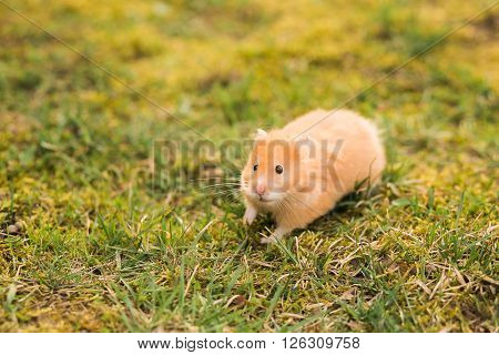 Portrait of hamster walking on the green lawn, copy space