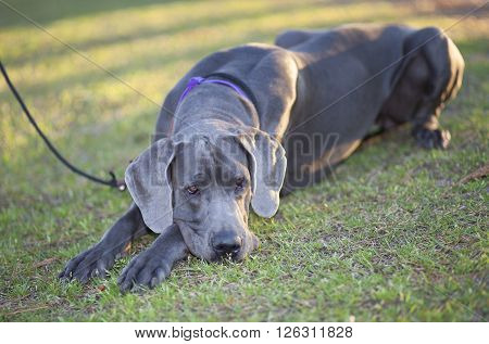 Great Dane that looks tired laying on the grass