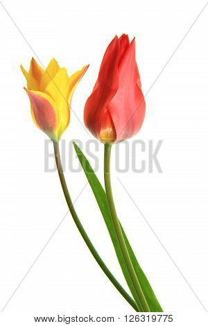 Tulips (Tulipa) two flowers isolated before white background