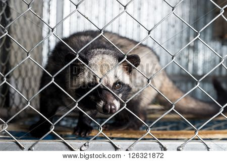 Coffee series : Asian palm civet in cage