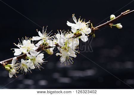 still life with white cherry blossom