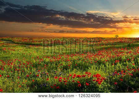 Brilliant red corn poppies growing in rural Texas captured at sunrise