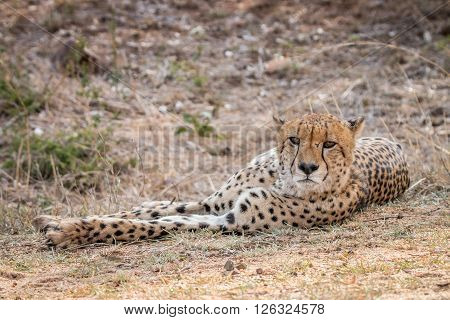 Cheetah Laying In The Kruger National Park.