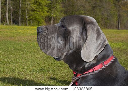 Gray Great Dane purebred striking a pose while laying on the grass