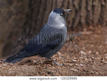 close up of western jackdaw on ground