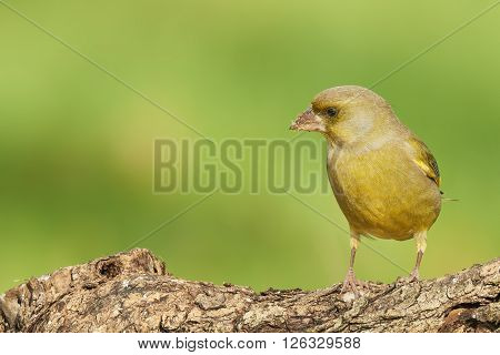 male greenfinch on tree trunk outdoor natural background
