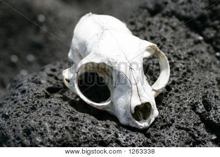 Animal Skull 01