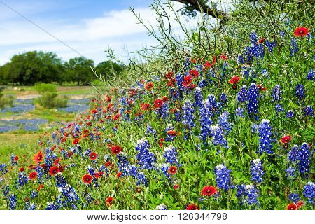 Vivid bluebonnets and Indian blanket wildflowers bathed in morning light