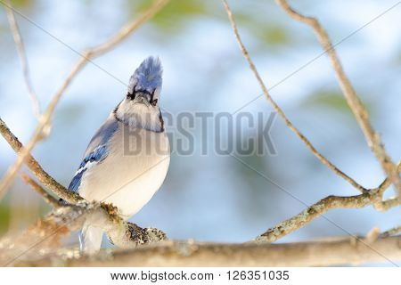 Blue Jay (Cyanocitta cristata) in early springtime, perched on a branch, looking at camera, observing and surveying his domain.