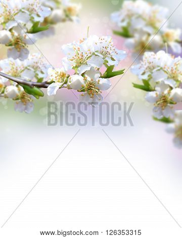Spring blossoming plum closeup. Spring Background \ executed in gentle tones\ . The freshness and beauty of spring.
