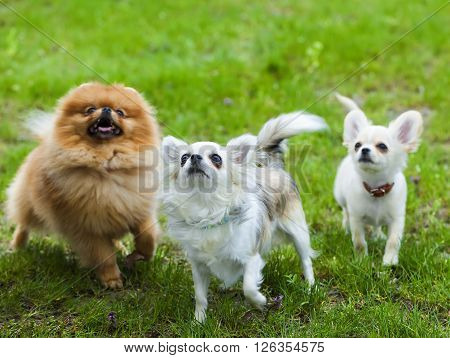 funny little fluffy dog in the grass