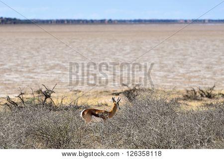 Springbok Antelope In Etosha, Namibia