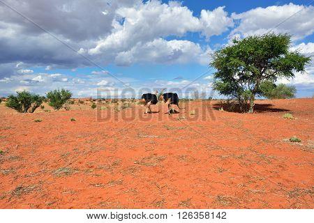 Kalahari Desert, Namibia