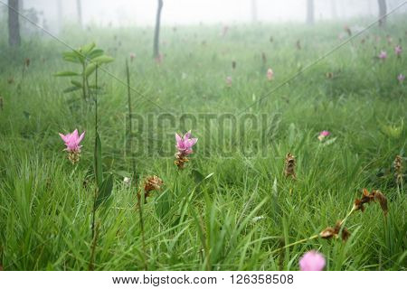 Curcuma Sessilis Field In The Mist