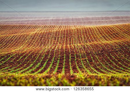 Rolling fields of Moravia with sprouts in spring, Czech Republic. Tilt shift effect