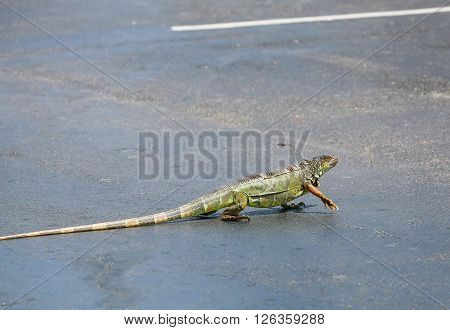 Green Iguana Parking Space
