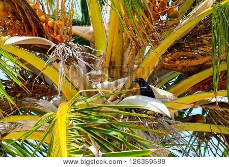 A common grackle sitting in the palm branches of a coconut tree.