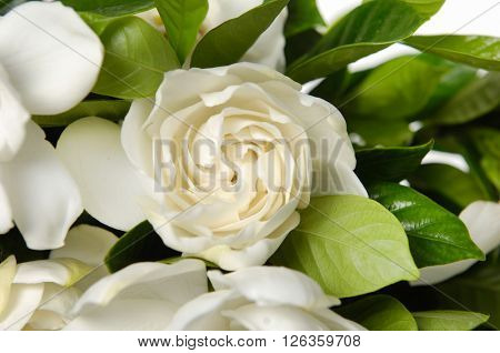 beautiful Gardenia's