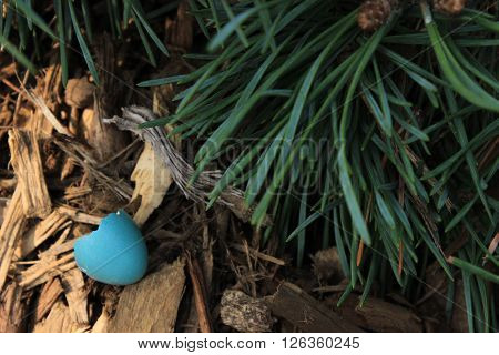 A blue robin's egg on the forest floor with pine needles.
