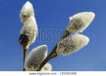 Pussy willow (Salix caprea) flowerses on background blue sky