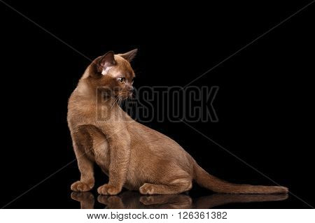 Burmese kitten with Chocolate fur Sitting on Isolated black background and Looking left