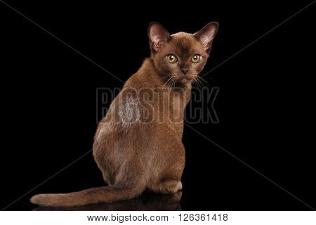 Burmese kitten with Chocolate fur Sitting Back view on Isolated black background and Looking in Camera