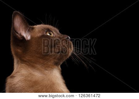 Closeup Portrait of Burmese kitten in Profile view Isolated on black background