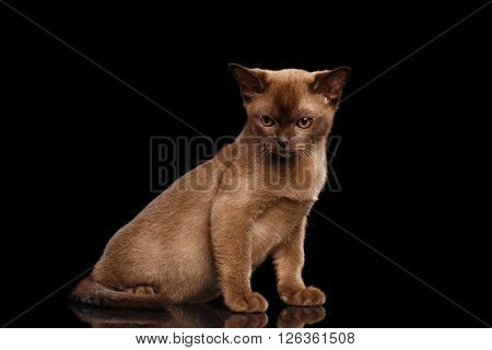 Burmese kitten with Chocolate fur Sitting on Isolated black background and gaze Looking down